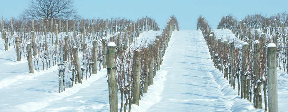 Vineyard in deep snow