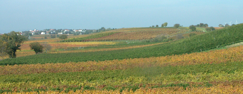 Autumn colored vineyards around Gols