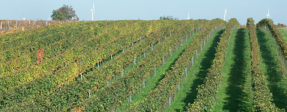 Hillside vineyard with autumn colored leafes