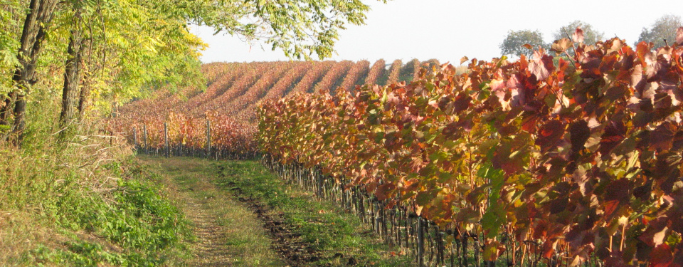 Vineyard next to a forest, autumn colored leafes