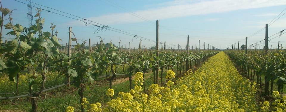 Yellow rape blossoms between rows of grapevines