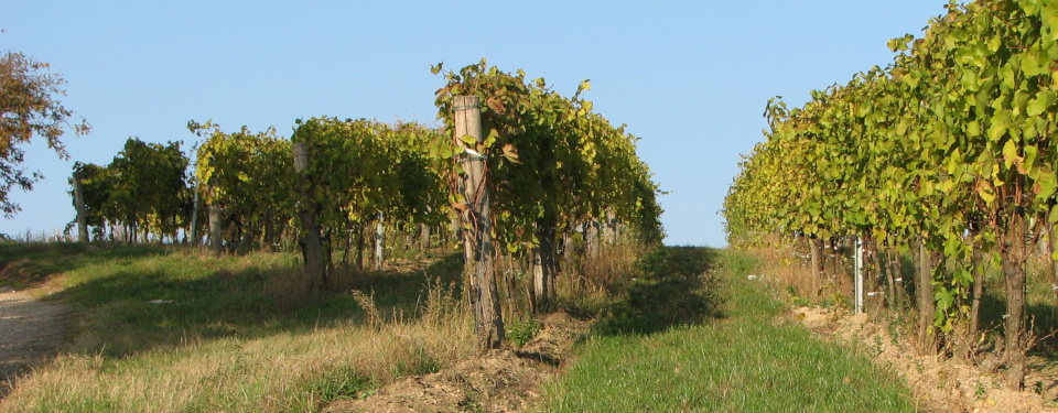 Rows of grapevines in summer, about 1 month befor the harvest