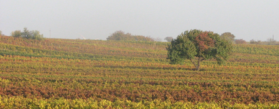 View of vineards starting to change leafe colours in autumn