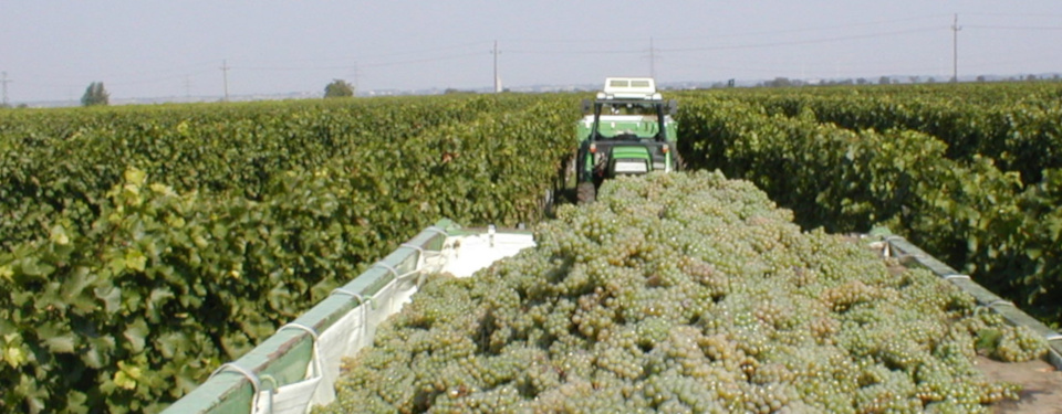 Trailer filled with fresh grapes at the harvest