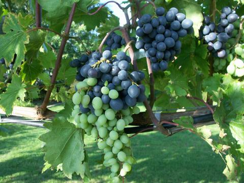 The red wine grapes slowly get their blue colour..