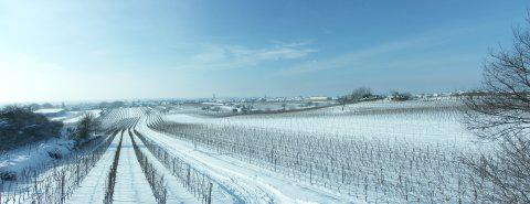 Snow-covered winter vineyards extend on a gentle slope towards the edge of the village of Gols.