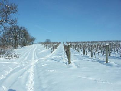 A snowy path with two tire tracks leads up to a hill. To the left of it is a small forest, to the right is a vineyard.