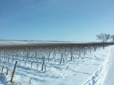 View of the snowy Wagram of Gols with snowy vineyards.