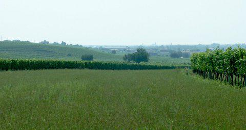 A cornfield with a slight slope. On both sides vineyards with scattered trees. In the distance the houses of Gols can be seen.