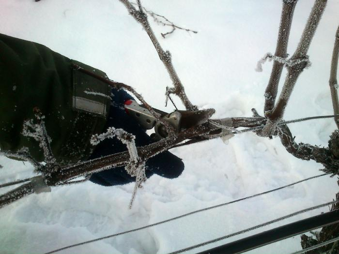 Close-up of a hand with secateurs cutting a vine covered with ice.