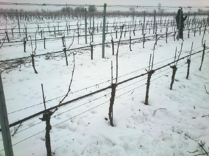 Vines after pruning - only one short shoot remains for each vine.