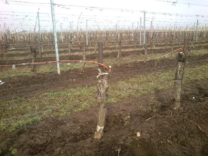Vines where the single shoot left over from pruning has been tied horizontally to the wire.