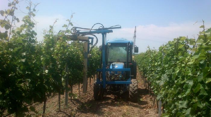 A tractor with a leaf cutter between two rows of tall vines. One side is already trimmed, the other one will follow.