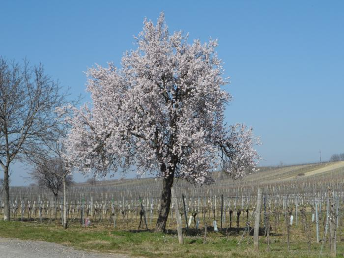 An almond tree in bloom under a cloudless sky on the wayside next to the vineyards. The vines are still in hibernation and have no leaves yet.