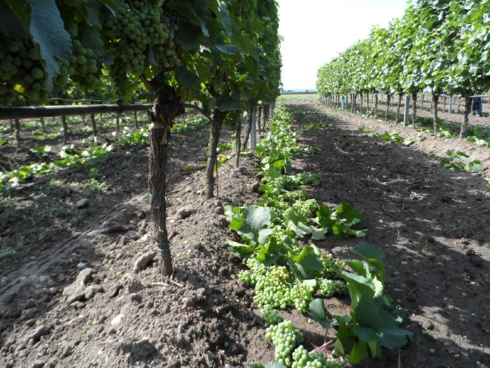 A row of vines. Underneath them are excess, unripe grapes and leaves that have been removed during thinning.