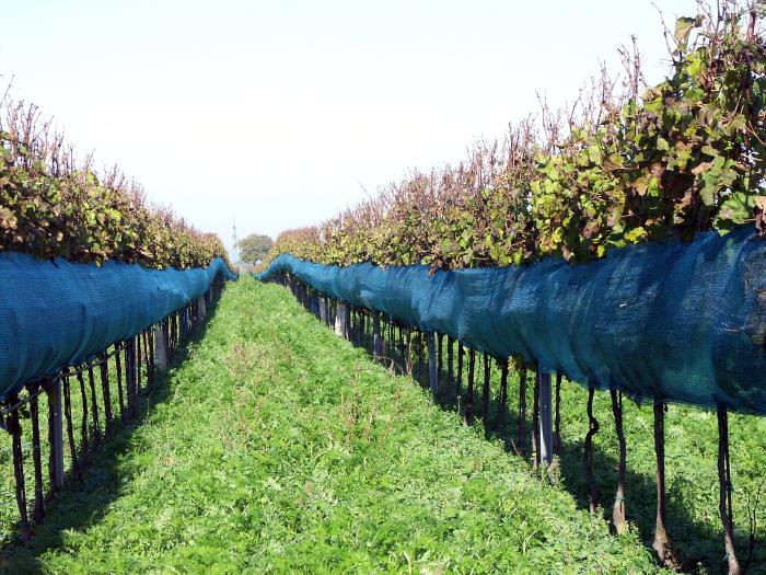 Two rows of high trellis vines covered on the lower 60 cm with fine meshed plastic nets.