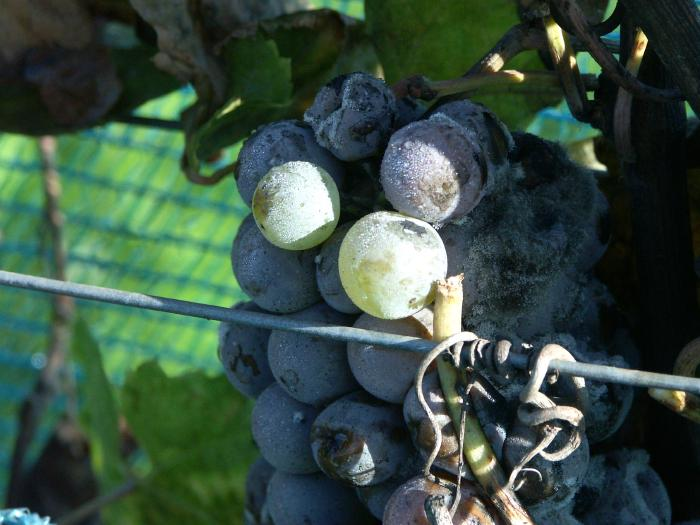 Grapes starting to be affected by noble rot.