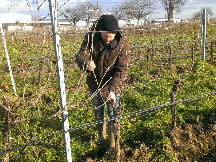 Andreas prunig Pinot Noir vines on a sunny winter day.