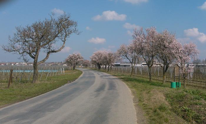 An asphalt road winds its way through vineyards in a slight left-hand bend and is lined with flowering almond trees. Vines and trees have no leaves yet.