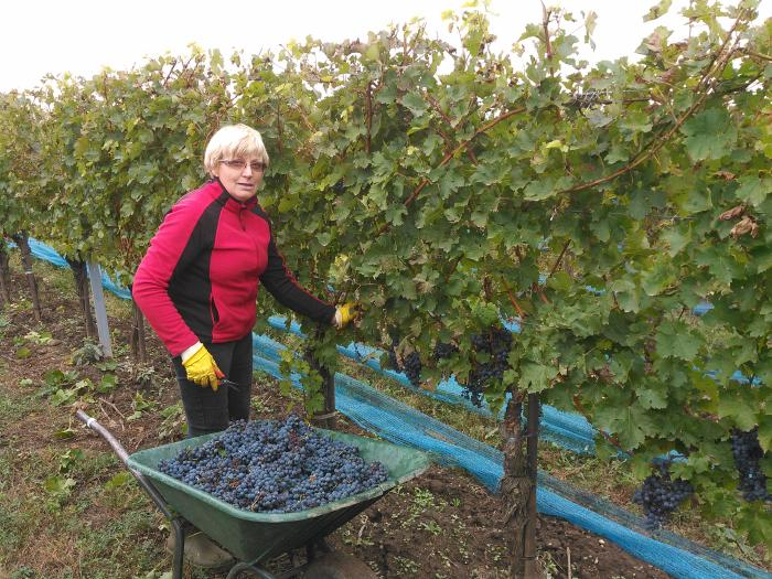 Renate standing behind a wheelbarrow filled with grapes picked by hand betwenn the grapevines.