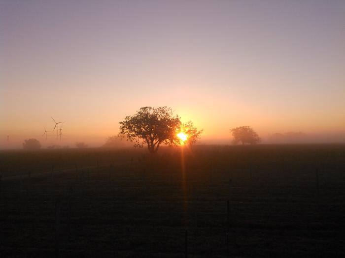 Sun rises from the fog behind a walnut tree.