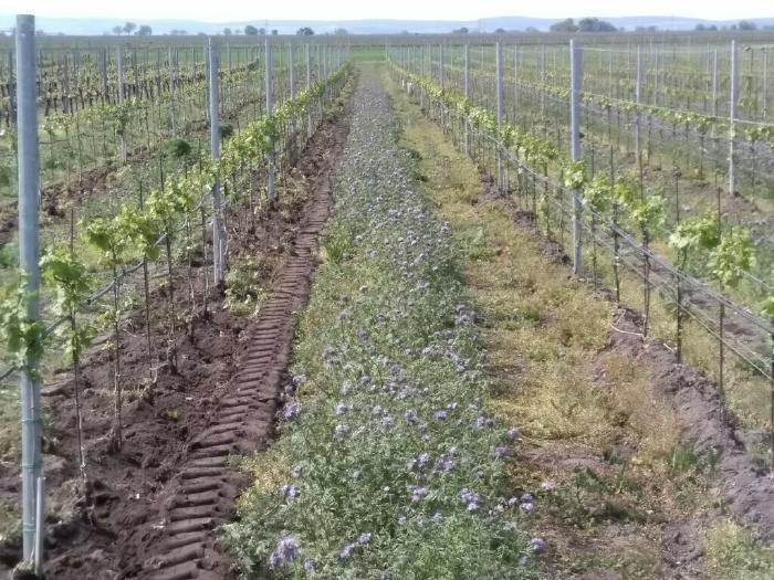 Vineyard rows before and after Spring Ploughing