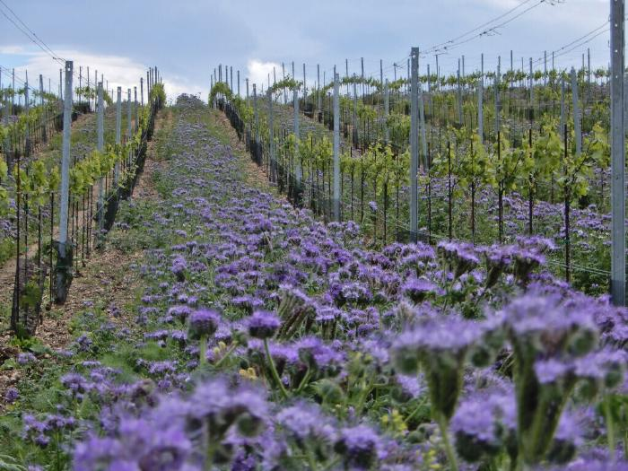Blue Phacelia blossoms in between vineyard rows