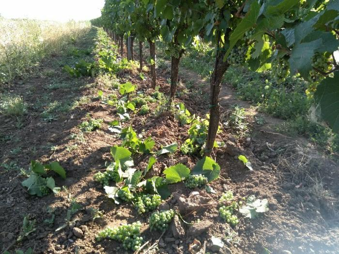 Grapes and leaves removed for grape thinning.