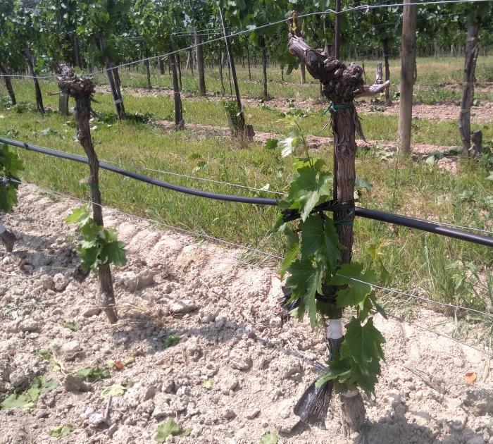 Two vines where the grafting has succeeded well. At the top, all the shoots of the old wood have been removed. The new vines grow from the middle on the side.