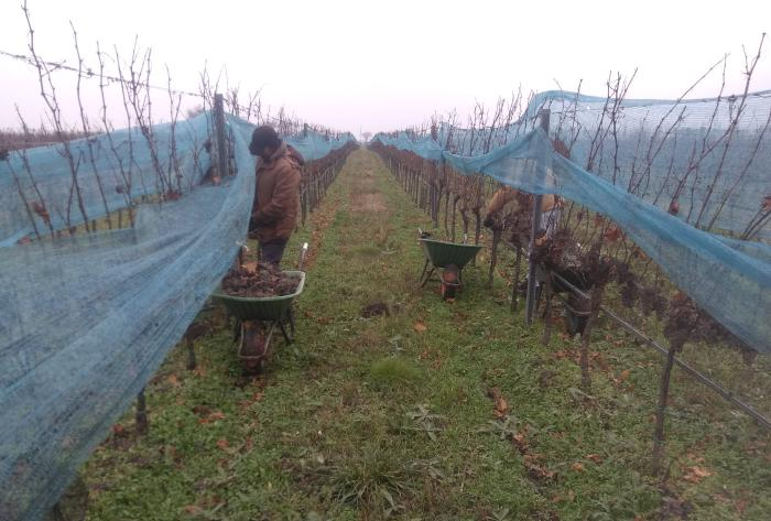 Long rows of vines covered with bird nets. In the foreground are people who harvest into wheelbarrows and have folded up the nets for this purpose. There are no longer any leaves on the vines and the grapes are completely affected by Botrytis.